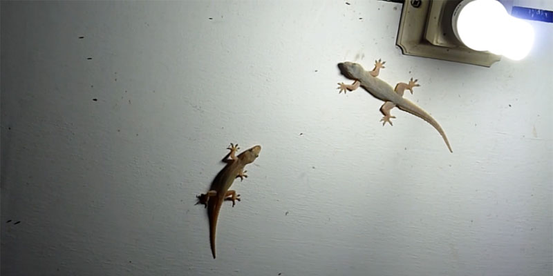 why-lizards-come-to-your-house